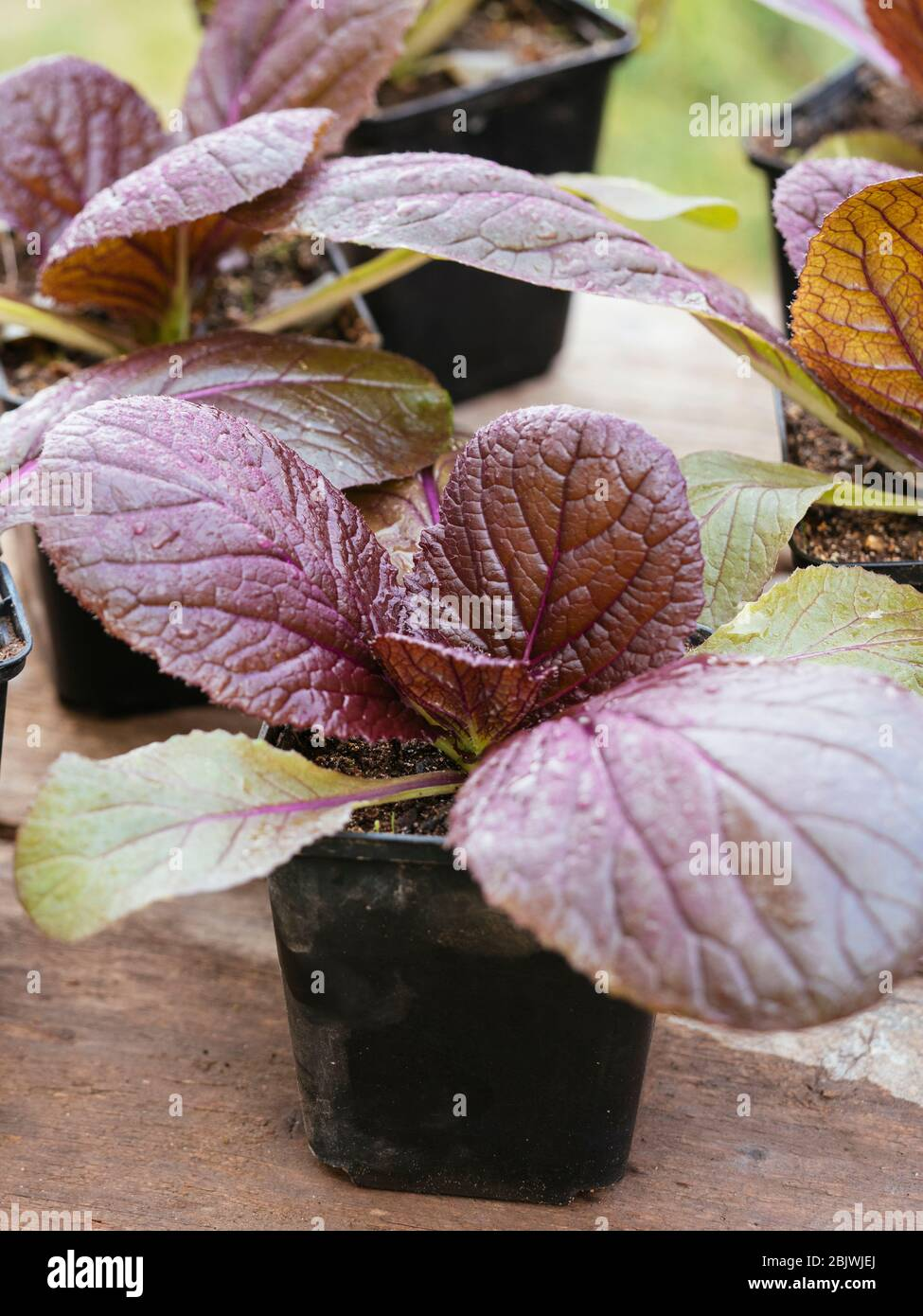 Red nappa cabbage 'Scarlette F1' (Brassica rapa subsp. pekinensis) seedlings Stock Photo