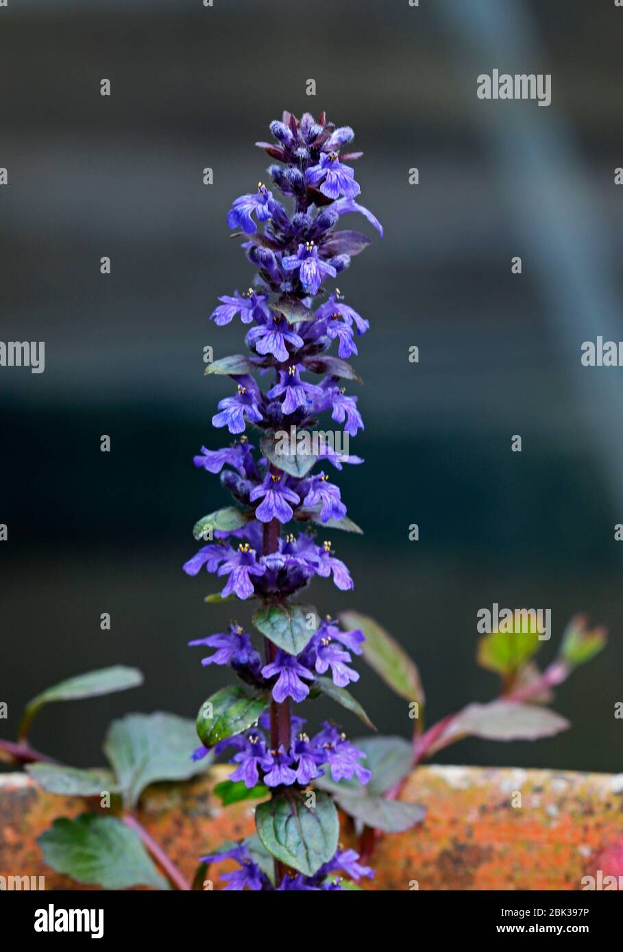 A view of a flowering Bugleherb, Ajuga reptans, cultivated in a pot outdoors in spring on a shady area of an English rock garden. Stock Photo