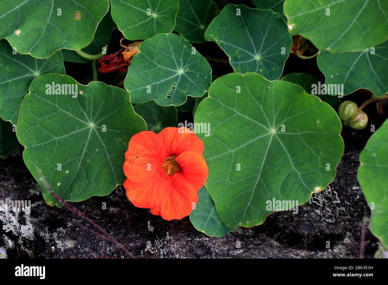 Nasturtium flowers. Tropaeolum majus garden nasturtium, Indian cress, or monks cress is a species of flowering plant in the family Tropaeolaceae. Stock Photo