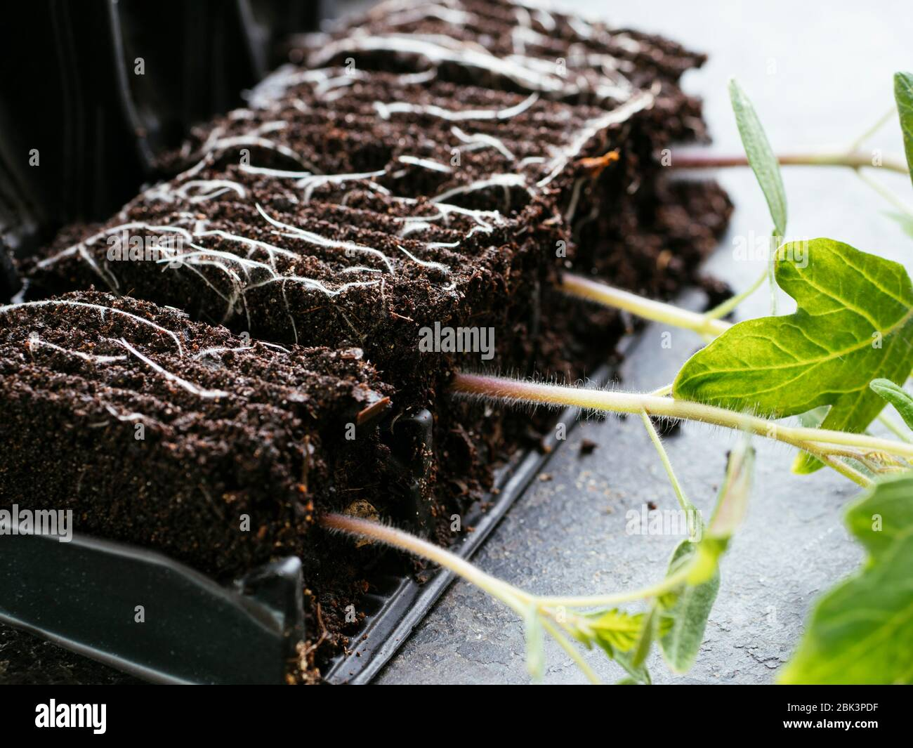 Young tomato seedlings (variety  Harzfeuer) in a root trainer. Stock Photo