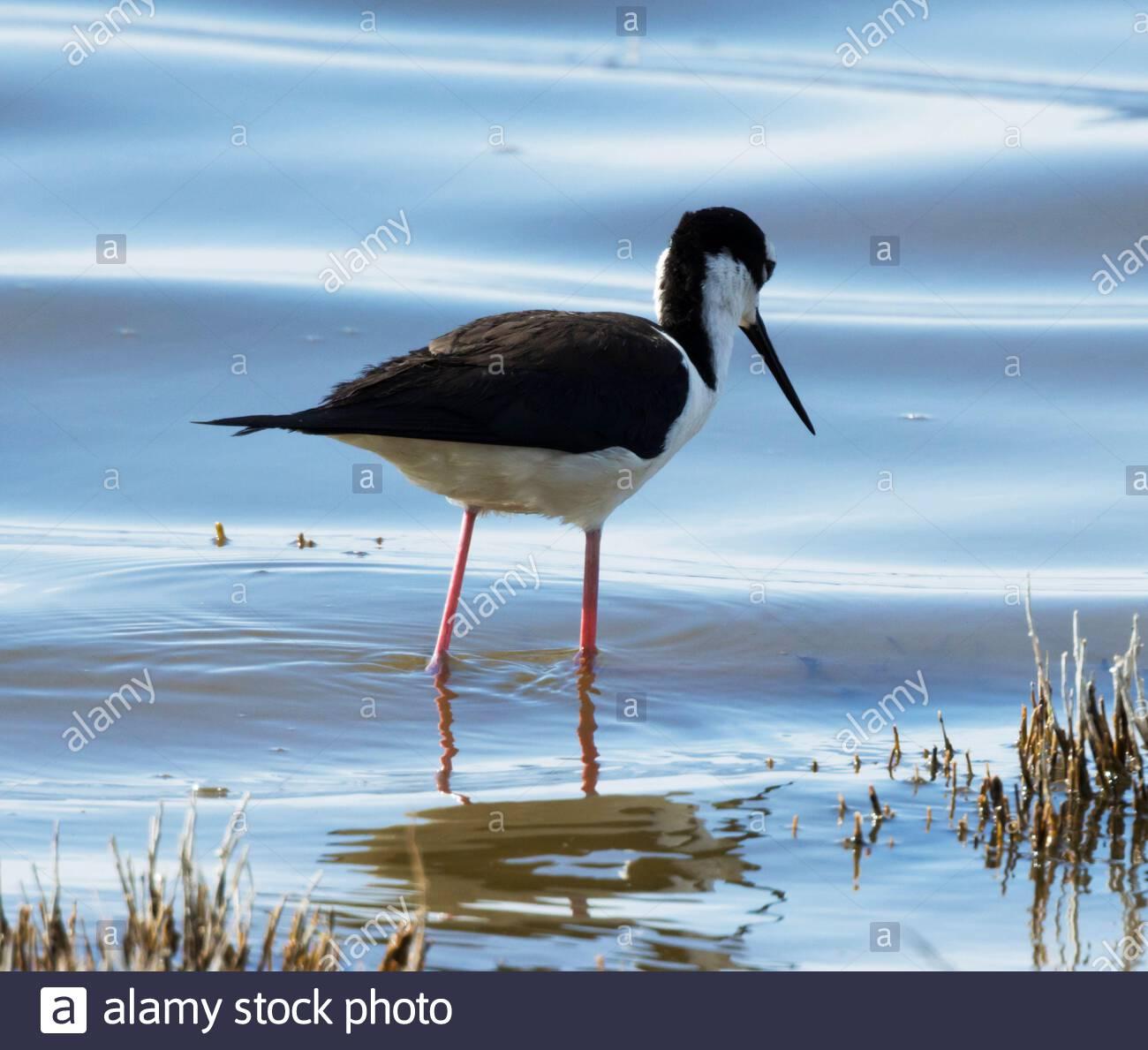 Black-necked Stilt, Himantopus mexicanus, wading in pond in Arizona Stock Photo