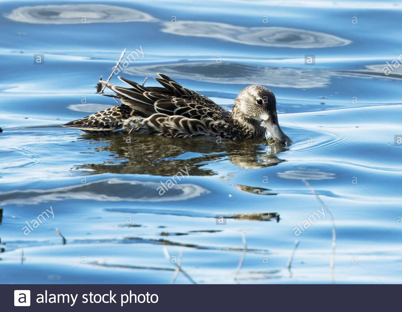 Blue-winged Teal, Anas discors, female, swimming in pond in Arizona Stock Photo