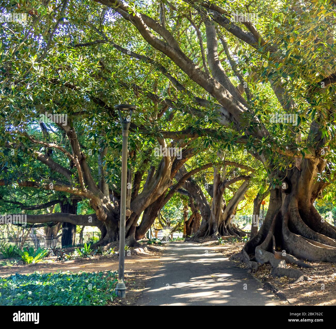 Fig Trees Perth High Resolution Stock Photography And Images Alamy