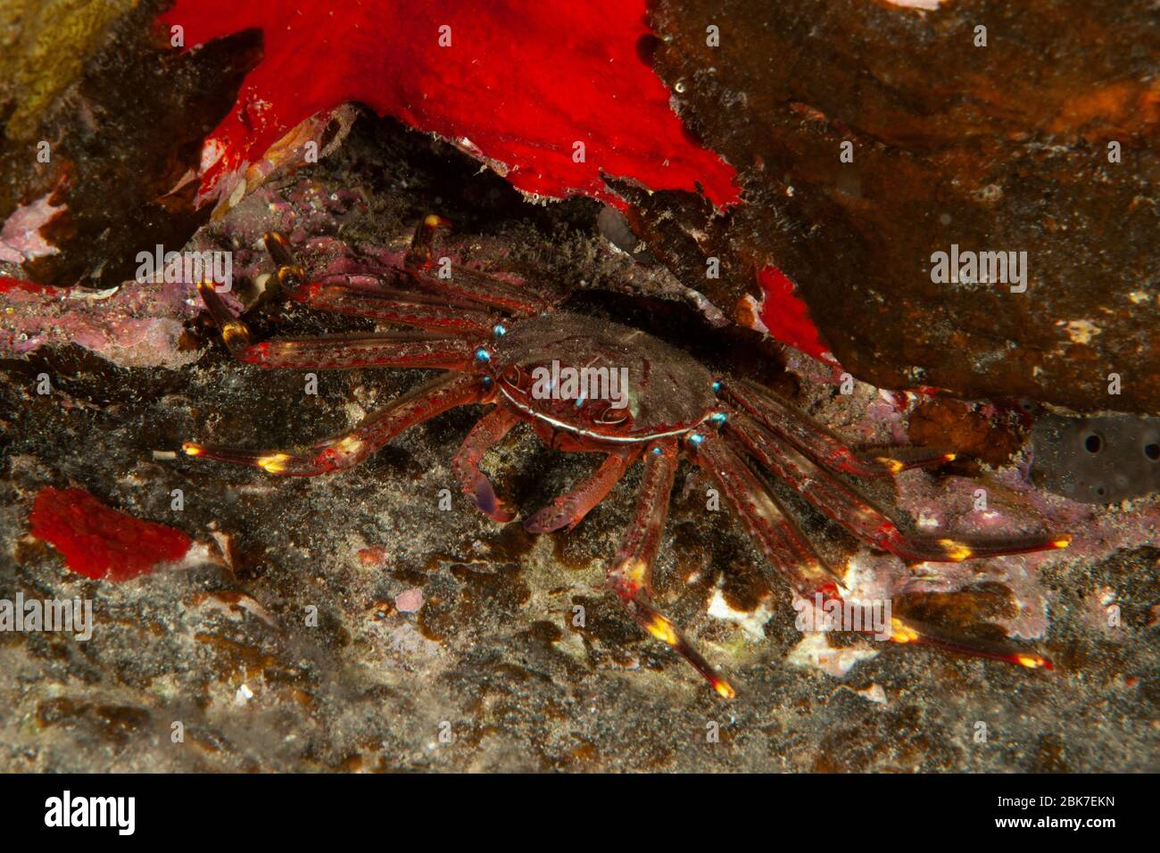 Klippenkrabbe (Grapsus adscensionis), Ostatlantik, Kanarische Inseln, Spanien Stock Photo