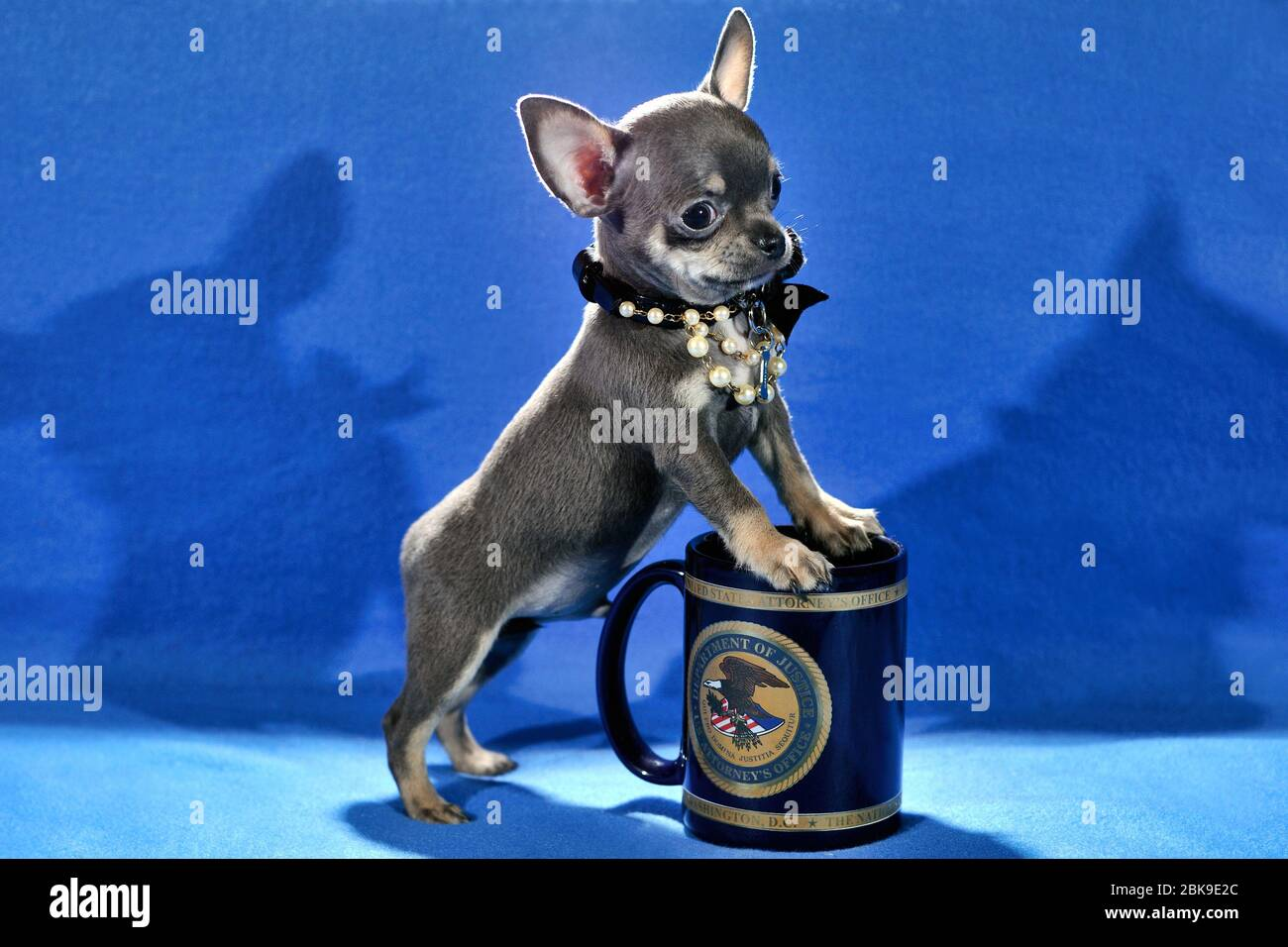 Page 3 Miniature Dog High Resolution Stock Photography And Images Alamy