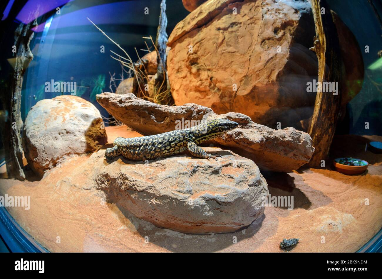 Skink In A Brightly Lit Desert Terrarium With Rocks Stock Photo Alamy