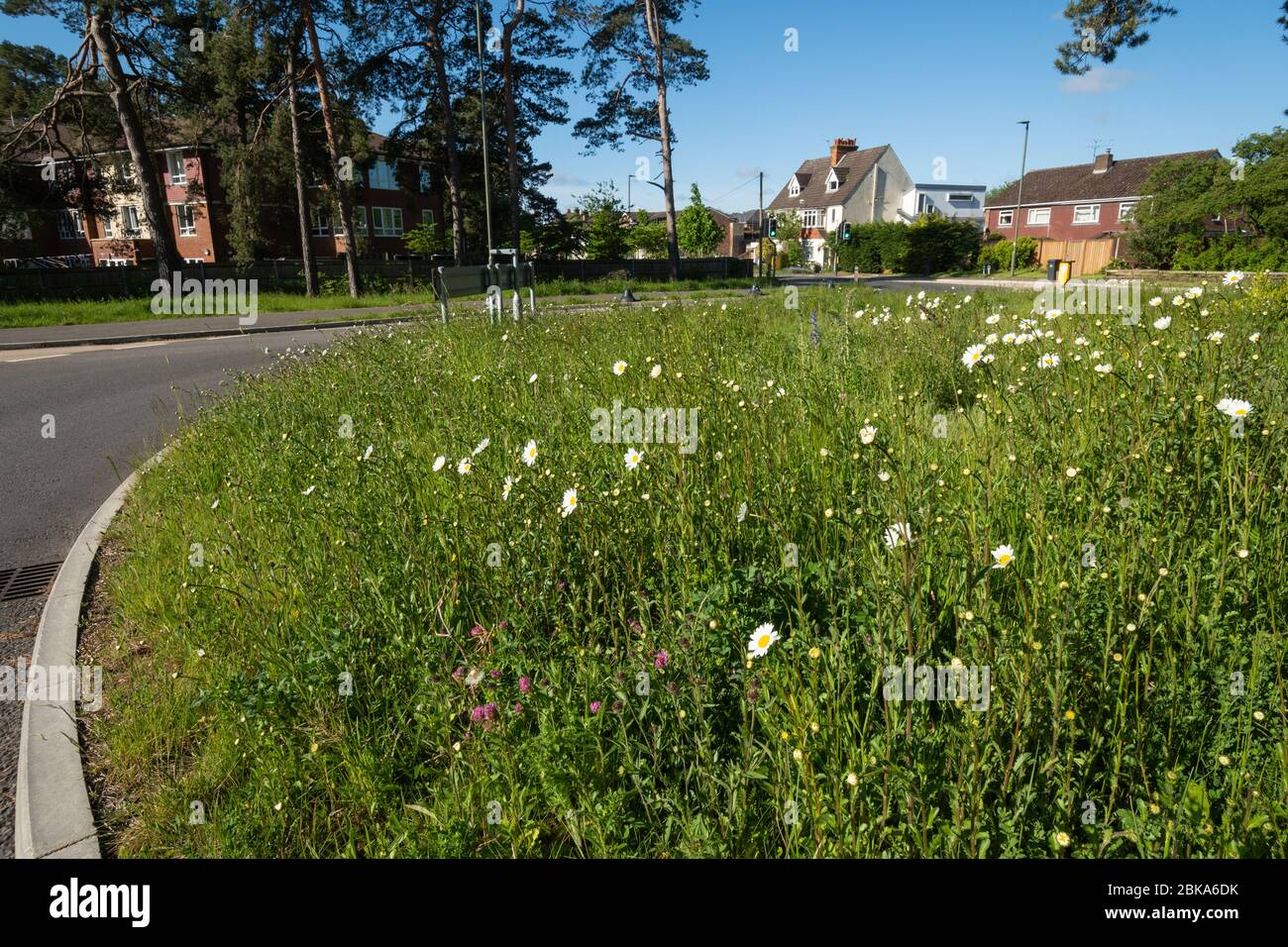 Wildflowers including oxeye daisies growing on a roundabout in Surrey, England, UK Stock Photo