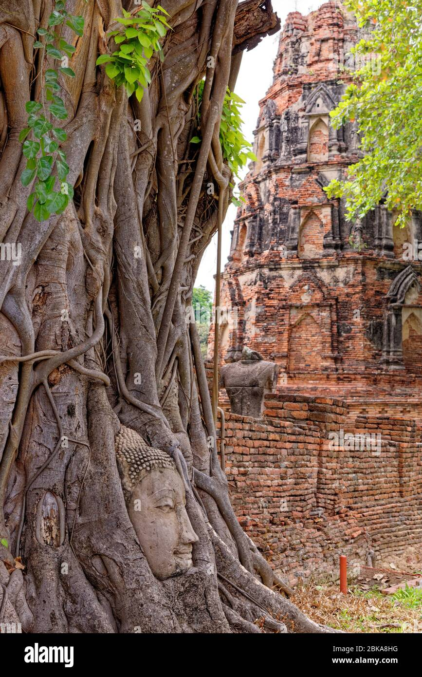 Large stone Buddha head in fig tree roots, Wat Mahathat, Ayutthaya City, Thailand, Southeast Asia, Asia - January 21st 2020 Stock Photo