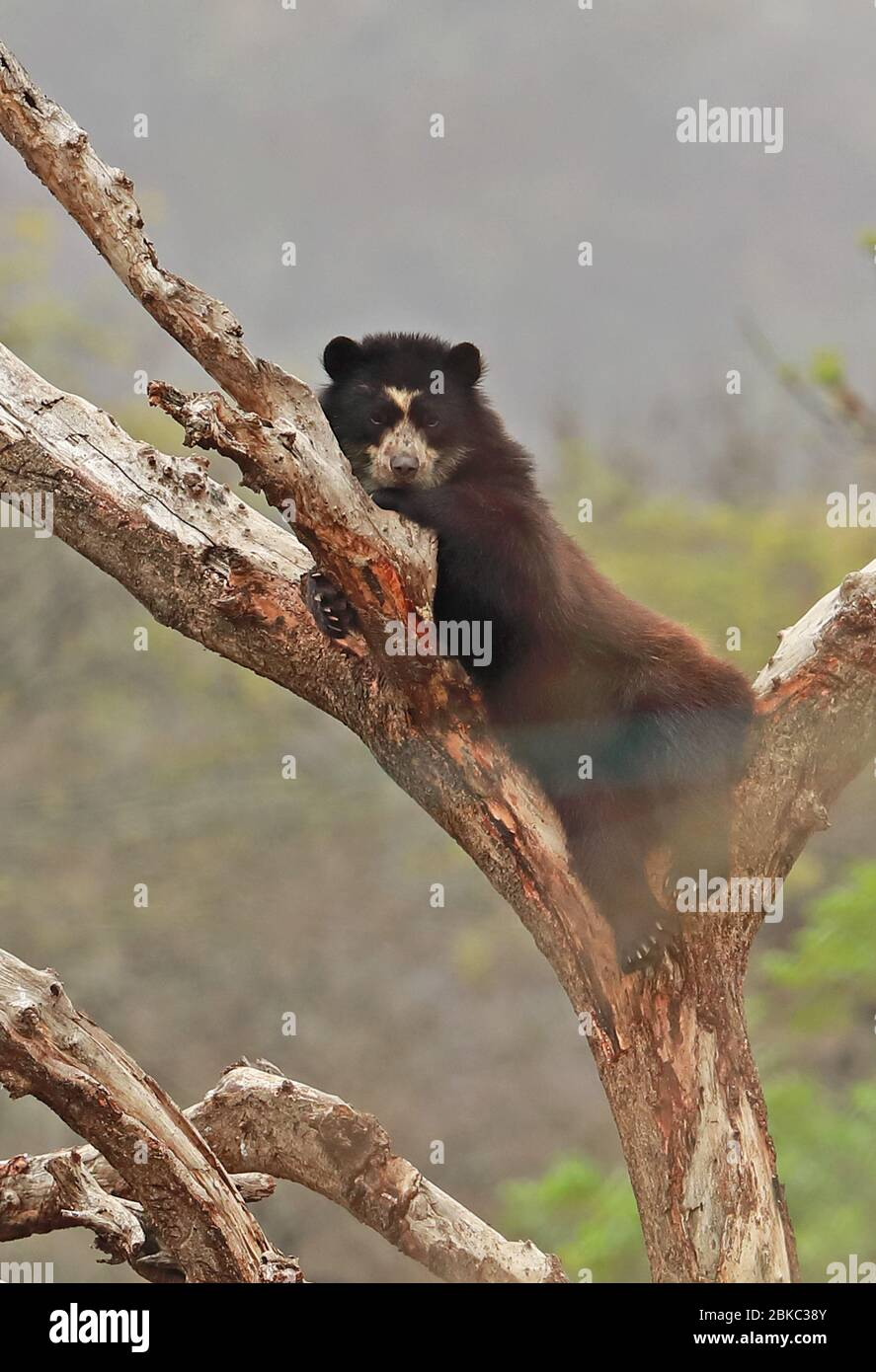 Spectacled Bear (Tremarctos ornatus) adult resting in tree at rehabilitation centre  Chaparri, Peru                      February Stock Photo