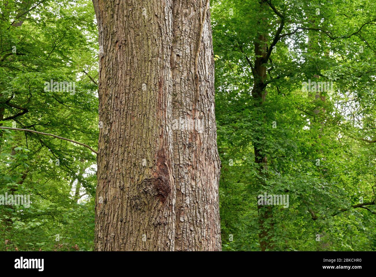 The trunk of a beautiful old linden tree in the spring forest. (Tilia platyphyllos) Stock Photo