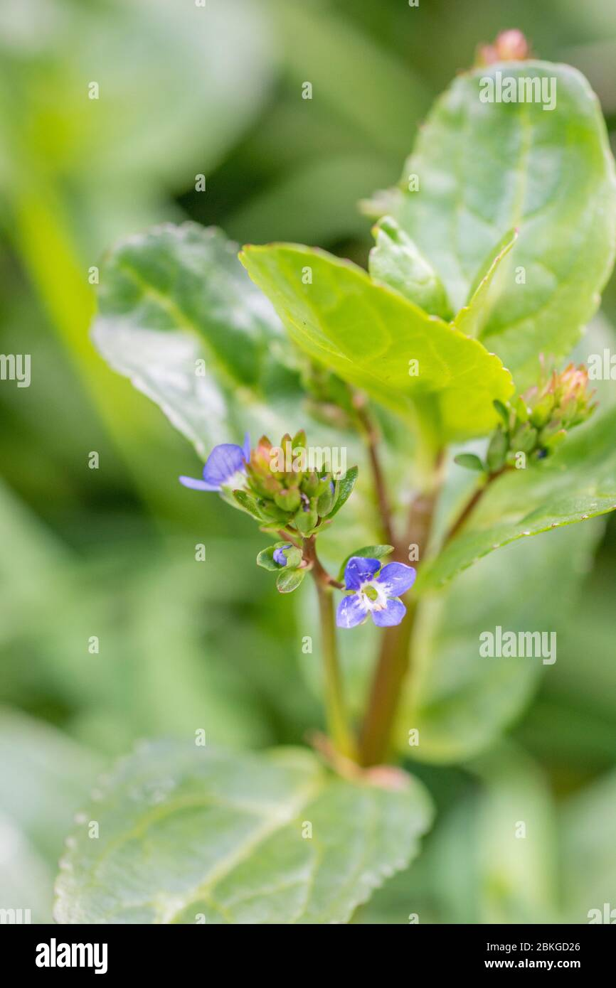 Dainty blue flower of Brooklime / Veronica beccabunga growing in drainage ditch. A foraged & survival food containing Vitamin C. Once used in cures Stock Photo