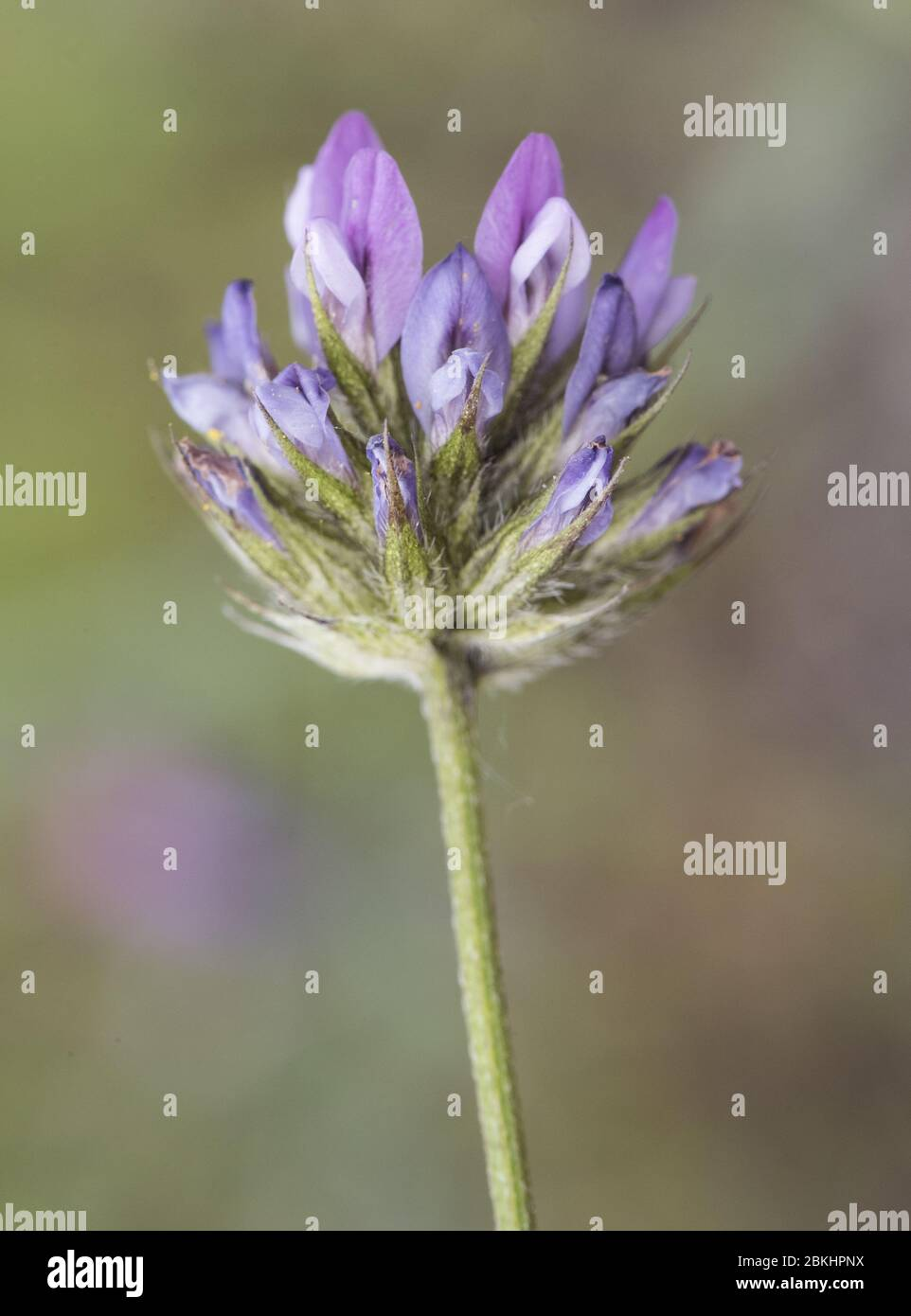 Bituminaria bitumosa the Arabian pea pitch trefoil clover-like plant with blue and white flowers on green background flash lighting Stock Photo