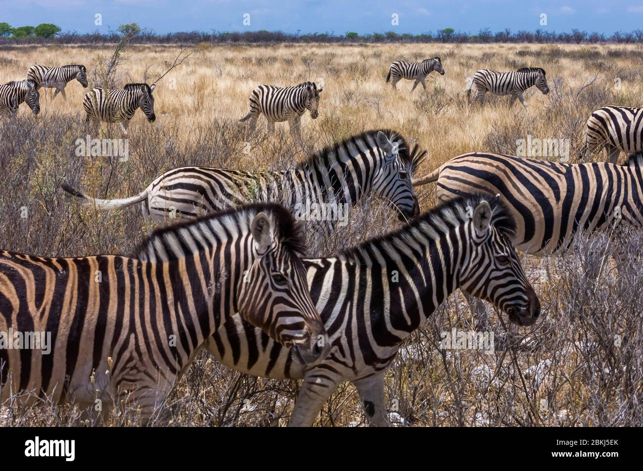 Namibia, Kunene region, Tsumeb, Etosha National Park, Hartmann zebra, or mountain zebra, Equus hartmannae Stock Photo