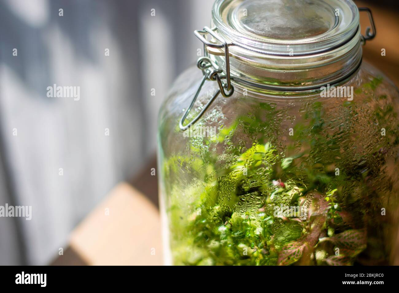 Plants In A Closed Glass Bottle Terrarium Jar Small Ecosystem Moisture Condenses On The Inside Of The Glass The Process Of Photosynthesis Drops Stock Photo Alamy