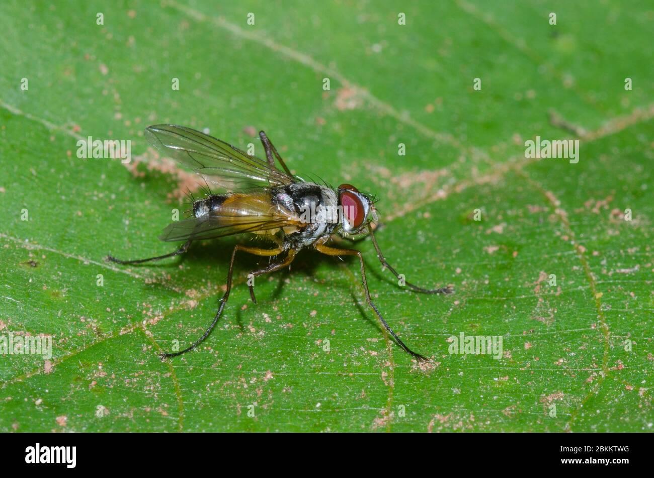 Tachinid Fly, Cholomyia inaequipes Stock Photo