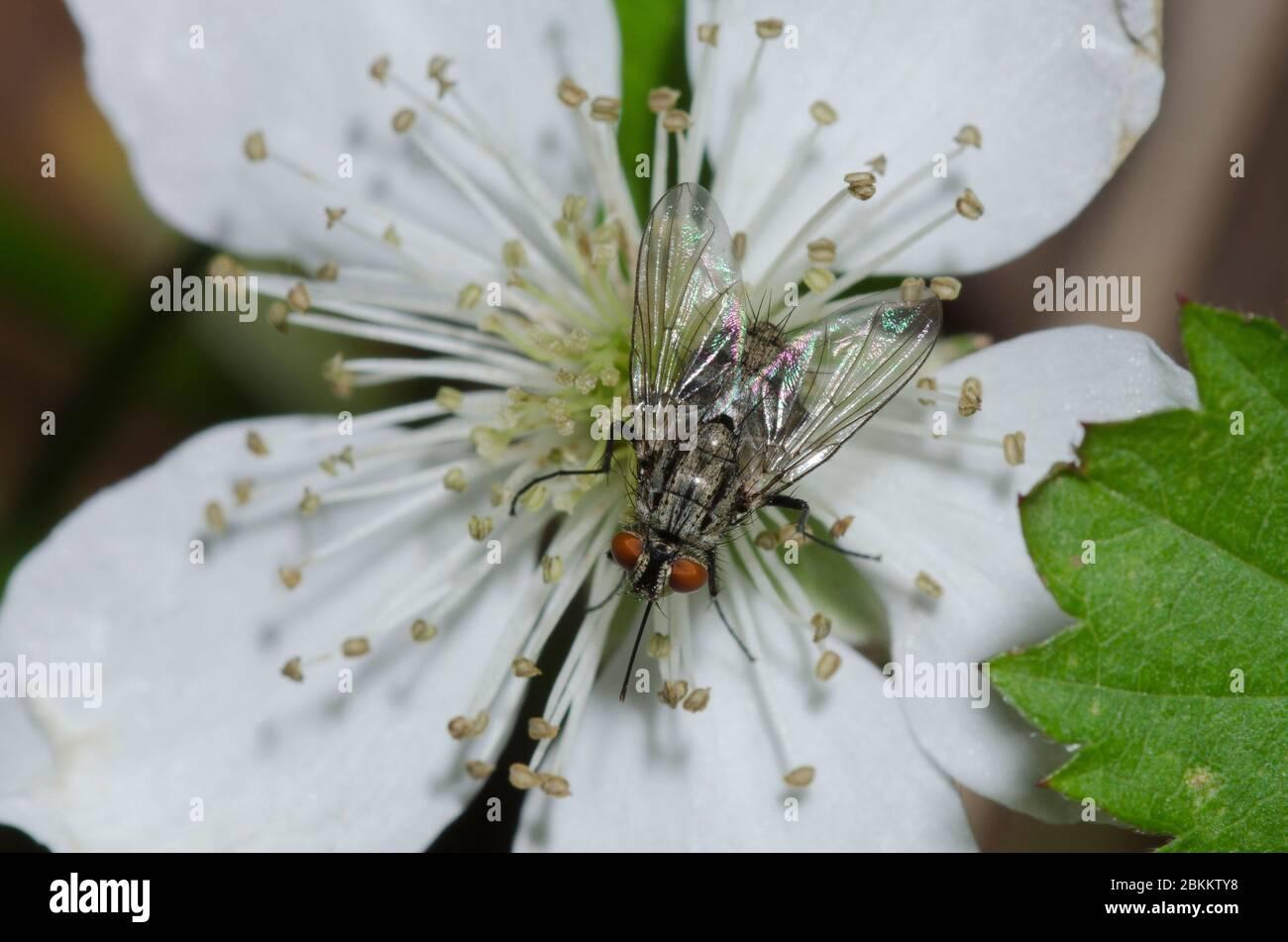 Tachinid Fly, Prosenoides sp., foraging on blackberry, Rubus sp., blossom Stock Photo