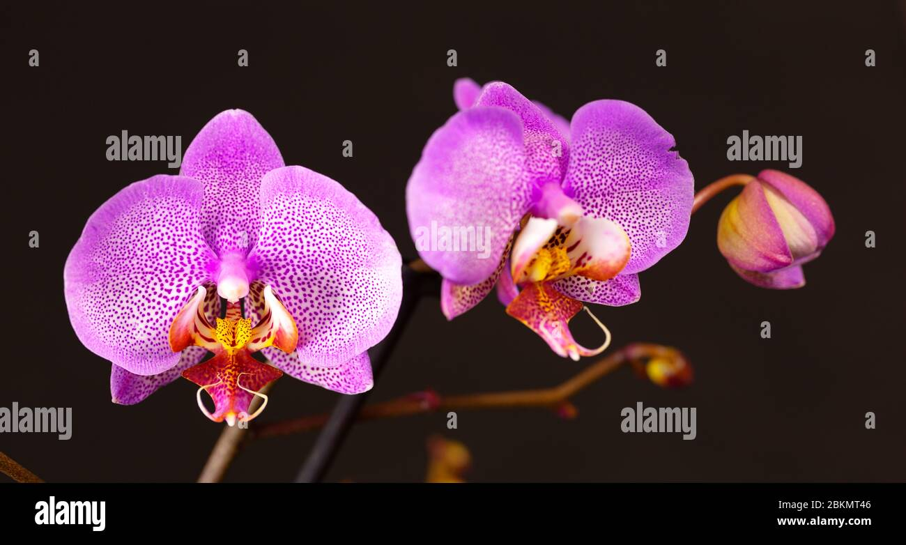 purple orchid flower and bud on a black background, pink orchid flower macro shot with studio lighting Stock Photo