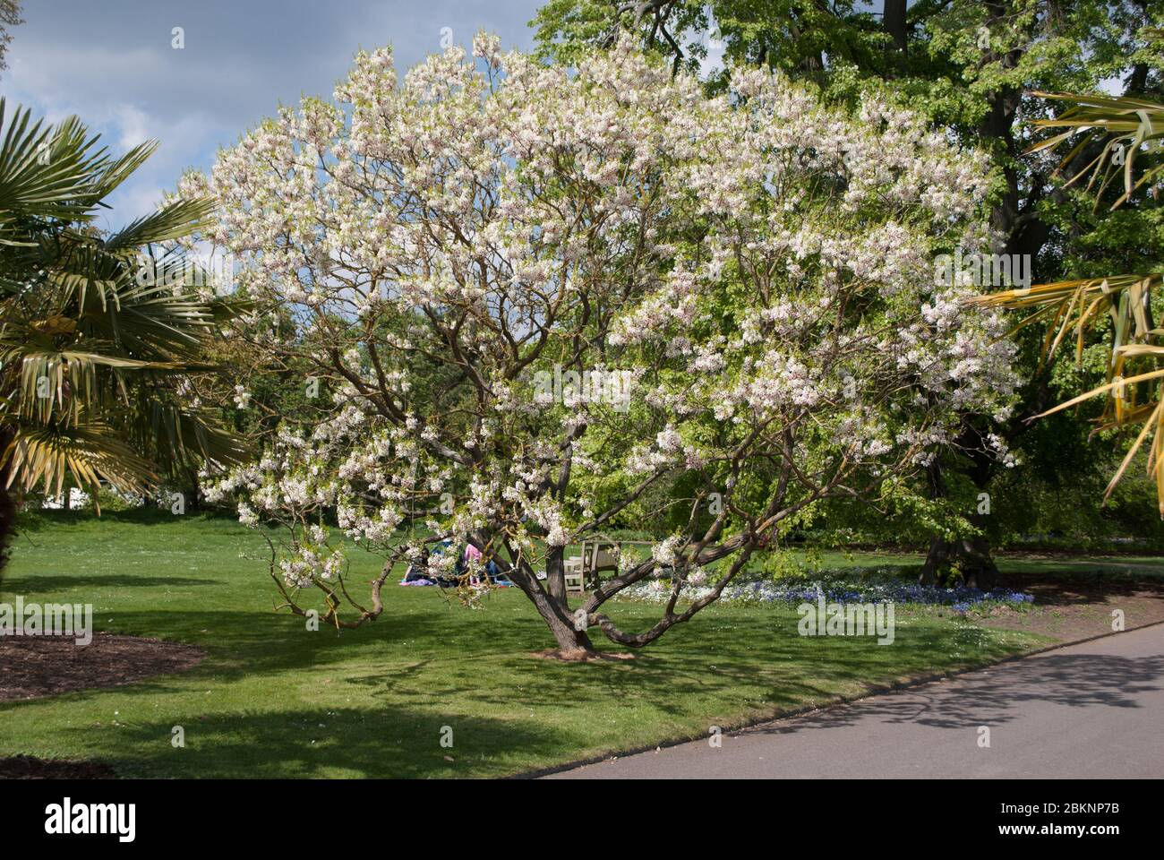 Magnolia Tree Bloom Blooming Flower Flowers at Royal Botanic Gardens Kew Gardens, Richmond, London Stock Photo