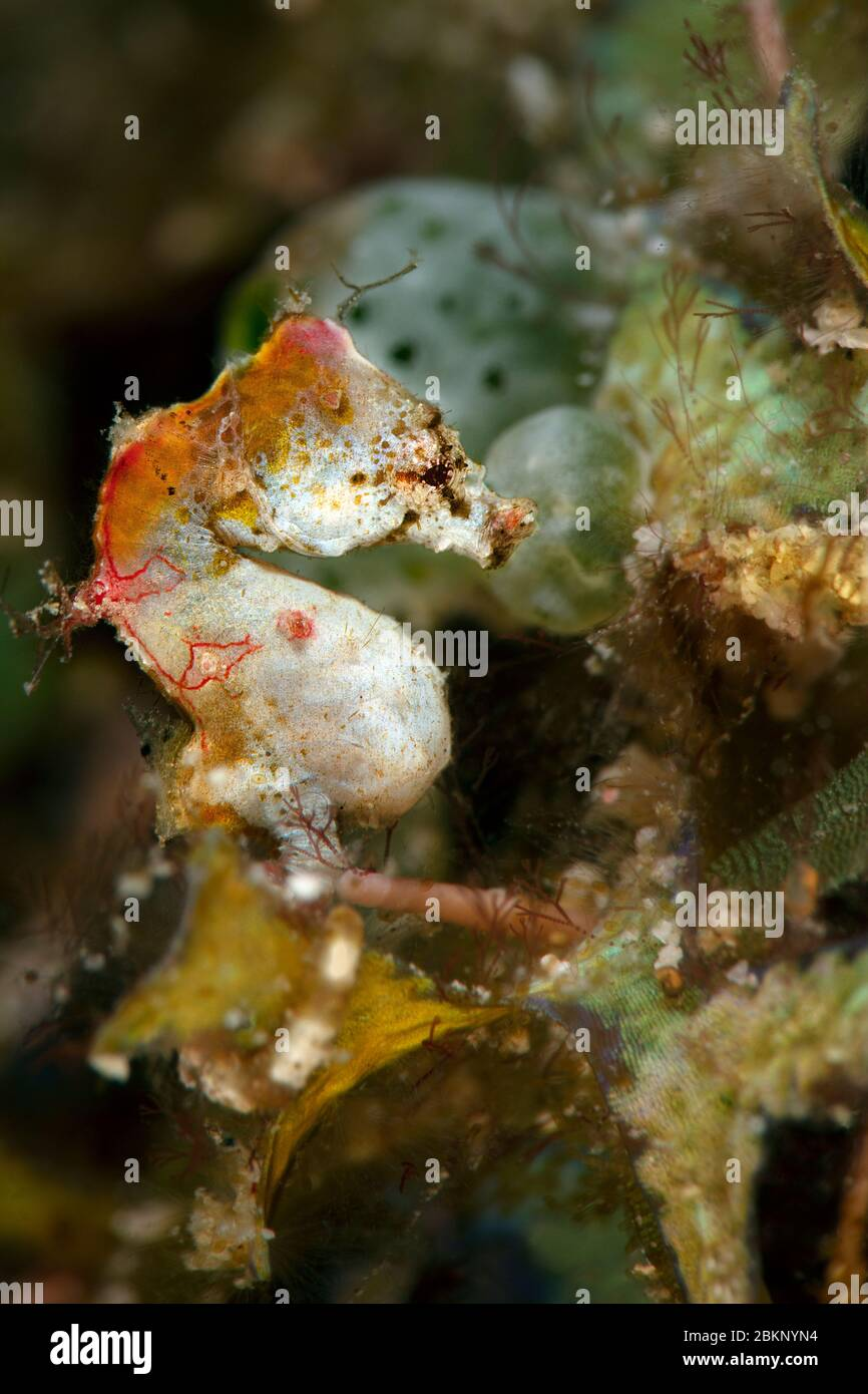 Pontoh S Pygmy Seahorse Hippocampus Pontohi Underwater Macro Photography From Romblon Philippines Stock Photo Alamy