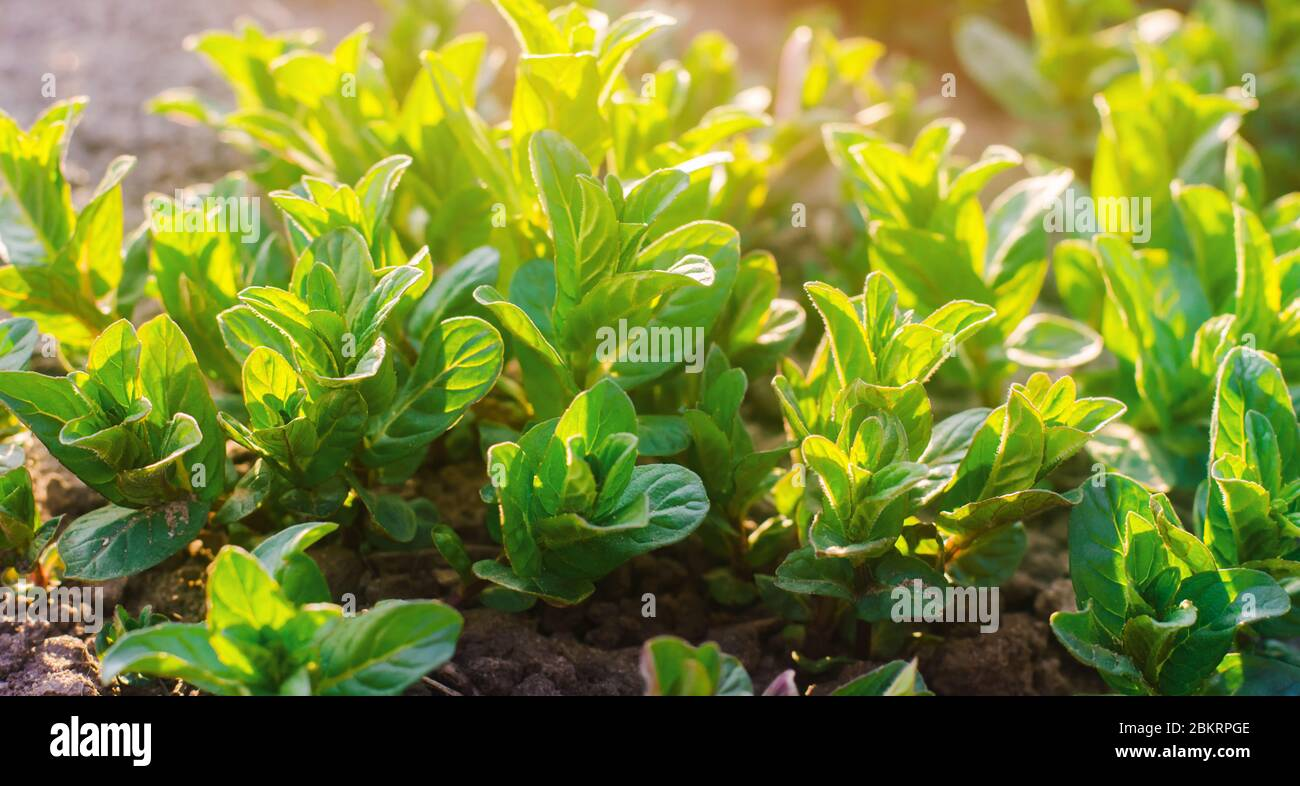 Fresh Leaves Of Green Young Mint Grow In The Garden On A Sunny Day Natural Wallpaper Aromatherapy Selective Focus Stock Photo Alamy