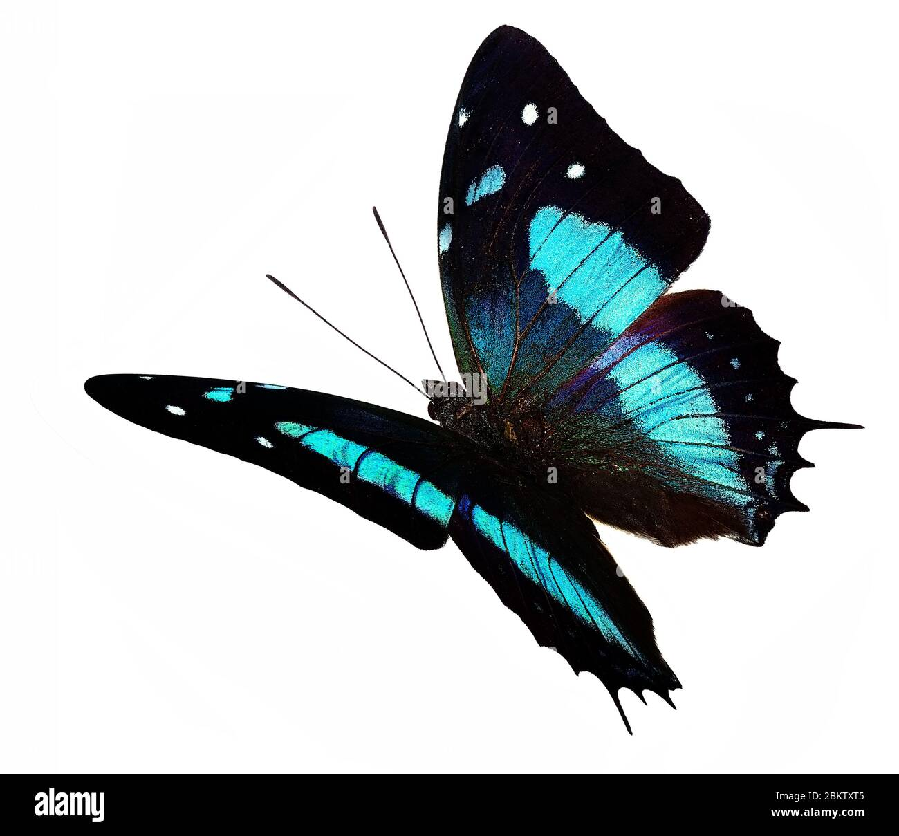 Butterfly Flying White Background High Resolution Stock Photography And Images Alamy