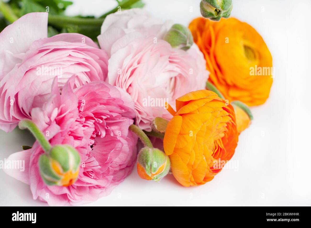 Beautiful Bouquet Of Ranunculus Flowers Of Orange And Pink Color On A White Background Flowers And Buds Copy Space For Text Stock Photo Alamy