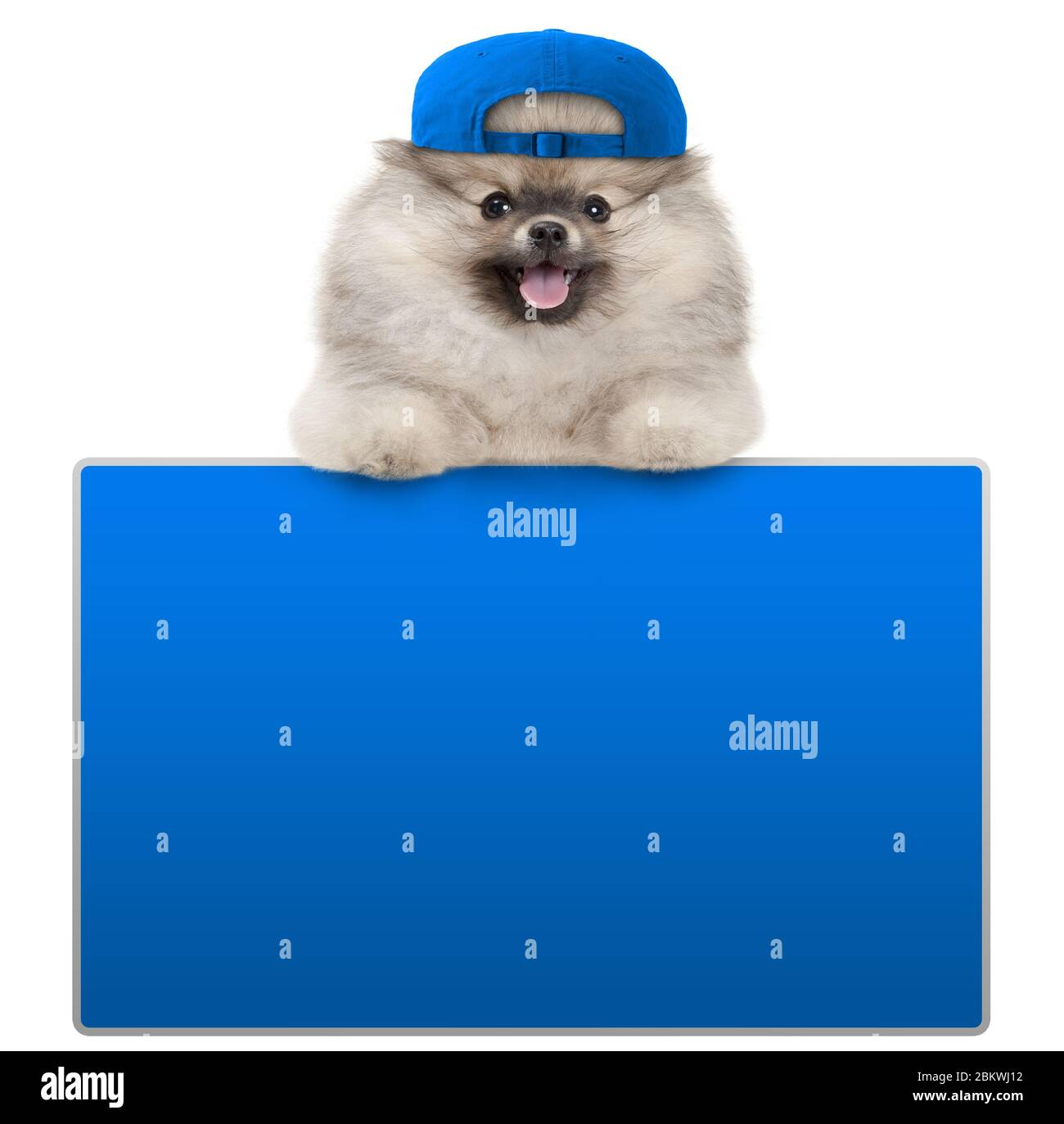 cute furry pomeranian dog with blue cap, leaning with paws on blank blue social media sign, isolated on white background Stock Photo