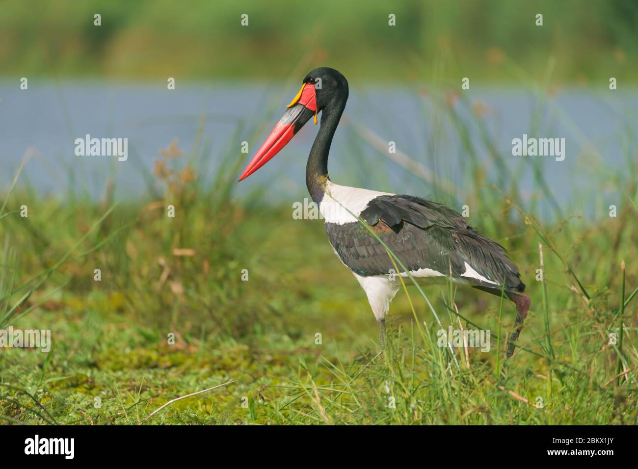 Saddle-billed stork, saddlebill, Ephippiorhynchus senegalensis, Murchison Falls national park, Uganda Stock Photo