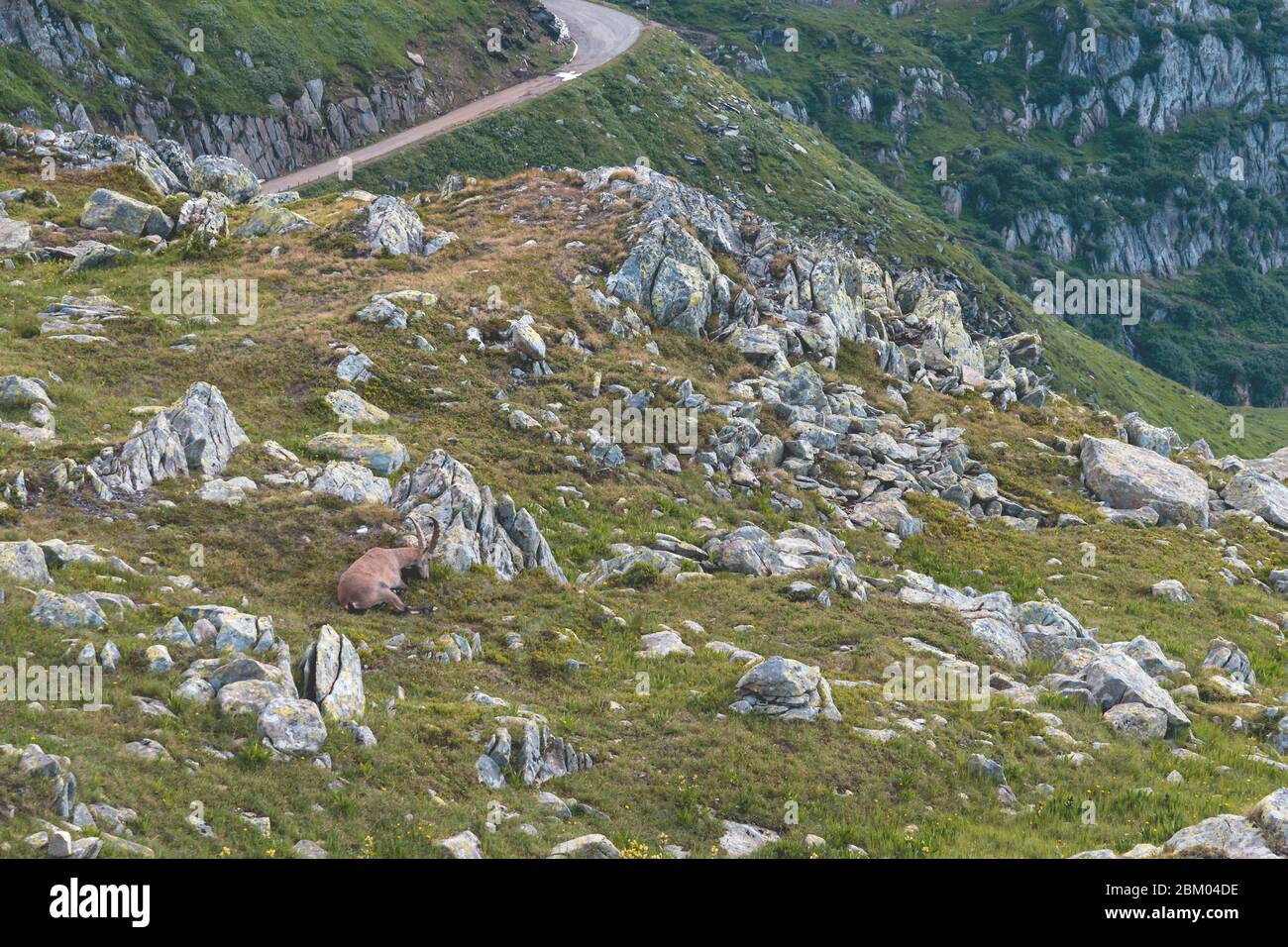 an ibex in nature between grass and stones in the swiss alps near the nufenen pass. Wild animals at 2400 meters altitude. Nufenenpass, Obergoms Stock Photo