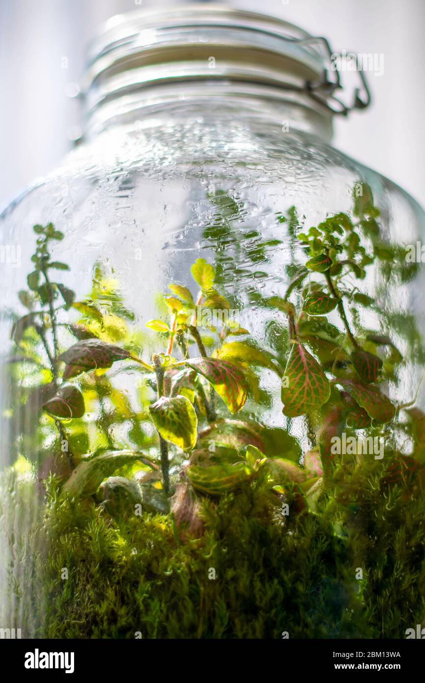 Plants In A Closed Glass Bottle Terrarium Jar Small Ecosystem Moisture Condenses On The Inside Of The Glass The Process Of Photosynthesis Droplets Stock Photo Alamy