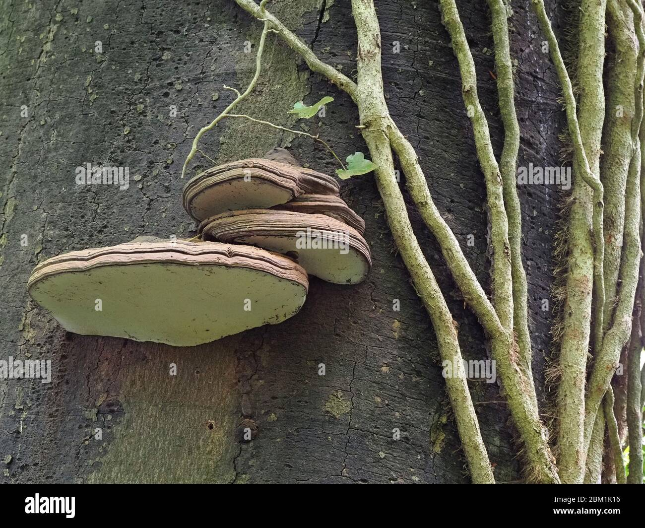 Ganoderma pfeifferi the Beeswax Bracket fungus growing on dead beech trunk in Somerset UK Stock Photo