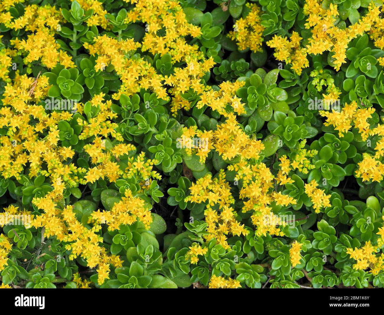 Yellow flowers of ground covering Sedum palmeri or Palmer's Stonecrop growing in the shady border of a garden in Somerset UK Stock Photo