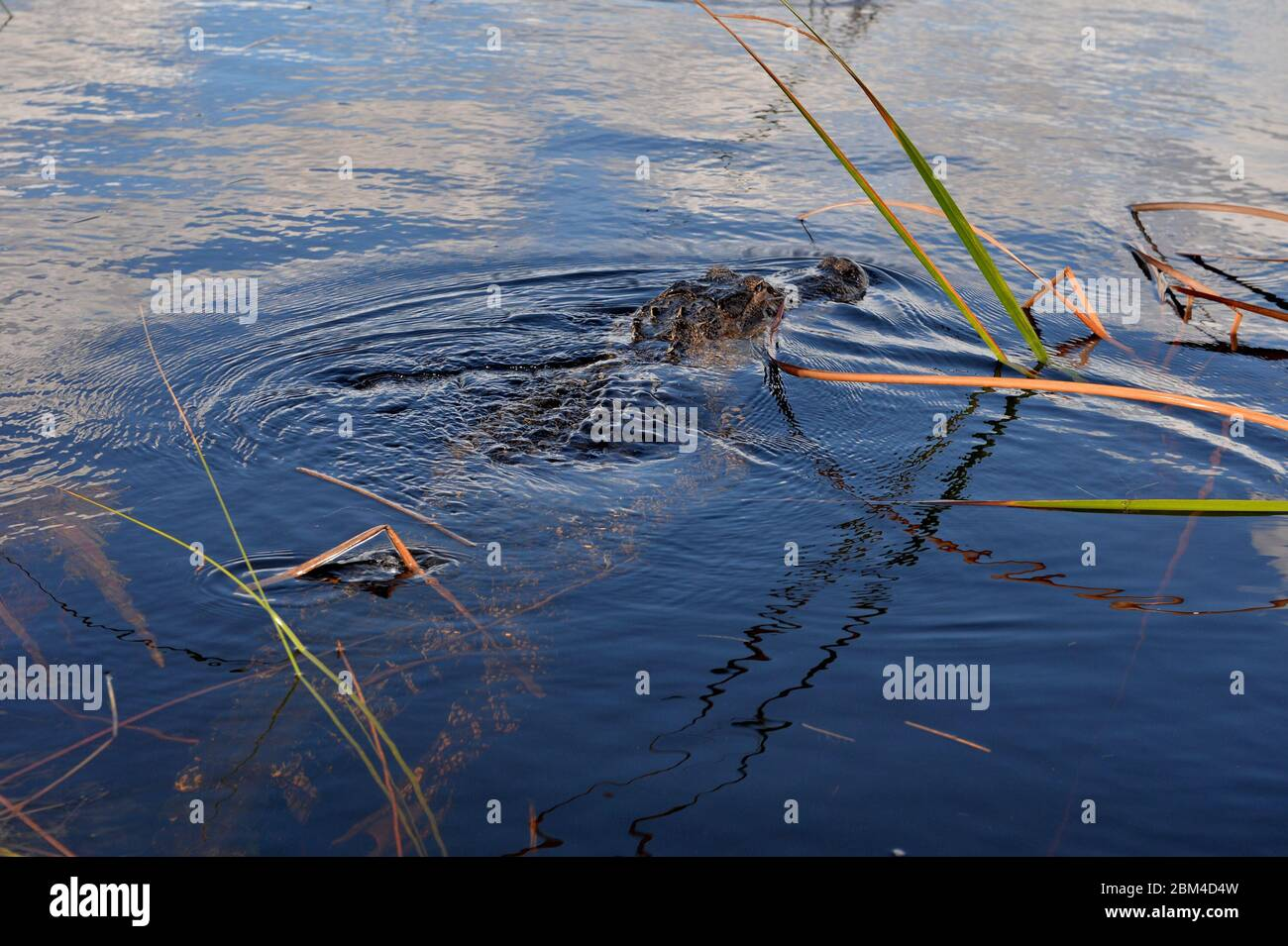 Davie, United States Of America. 23rd Aug, 2016. DAVIE, FL - JUNE 08: Arm found inside alligator pulled from Davie lake; woman believed to be dead - Woman vanishes while walking dogs at Silver Lakes Rotary Nature Park. Note No danger signs were posted and residents claim Fort Lauderdale authorities knew that the deadly alligator was there on June 8, 2018 in Miami Beach, Florida People: Woman Dead Credit: Storms Media Group/Alamy Live News Stock Photo