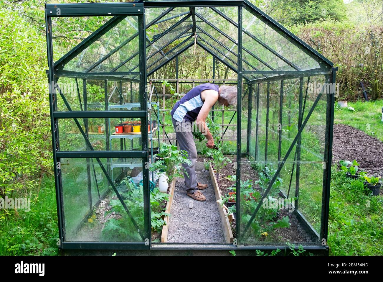 Exterior view of greenhouse and older man bending over working inside cutting Russian kale leaves in April spring Wales UK  KATHY DEWITT Stock Photo