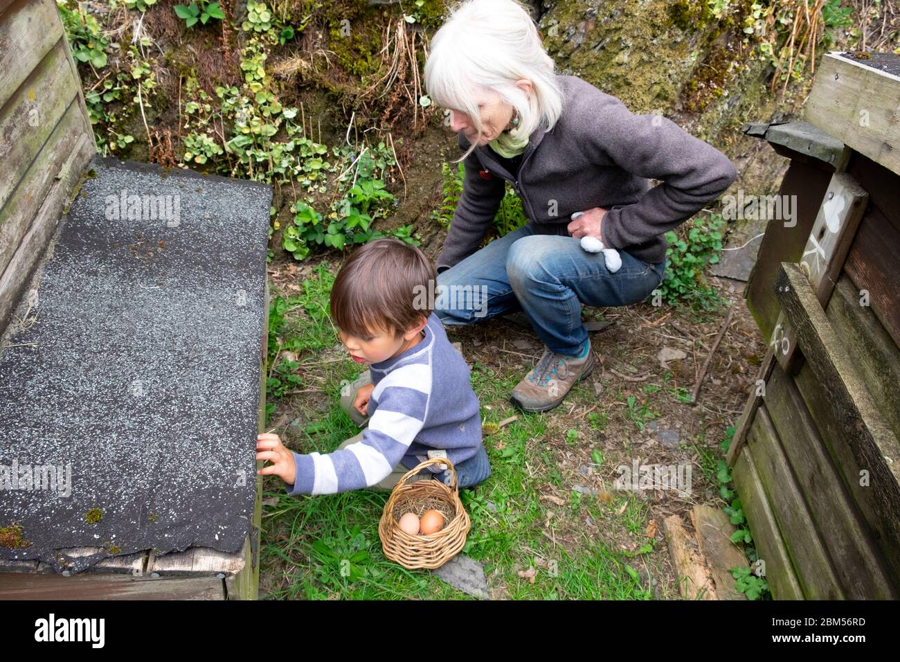Little boy 3 yrs & grandmother collecting eggs to put in a basket from a chicken shed hen house on smallholding Carmarthenshire Wales UK  KATHY DEWITT Stock Photo