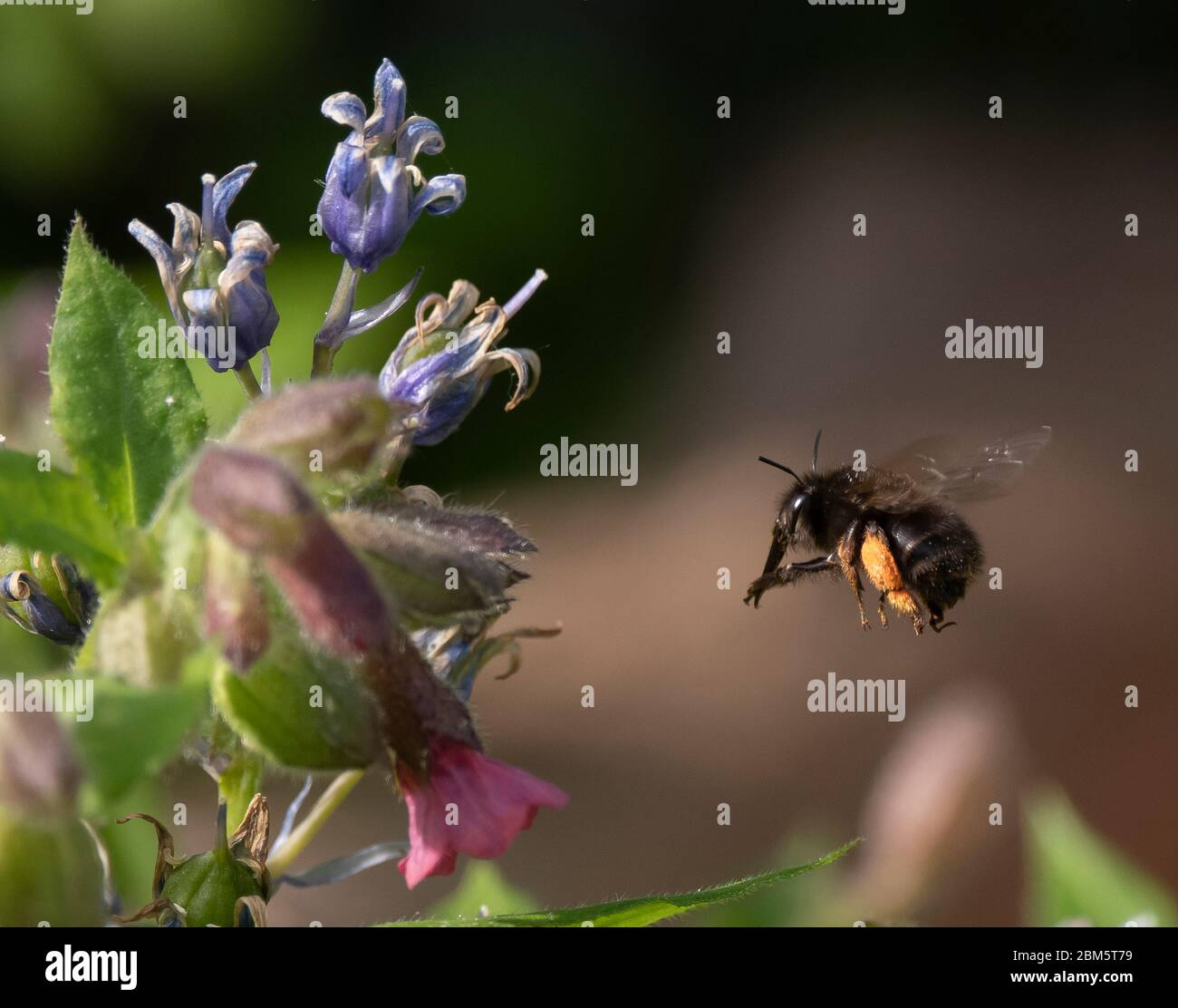 London, UK. 7 May 2020. Coronavirus lockdown day 45, garden watch. A Bumblebee laden with pollen flies towards bluebell flowers, frozen in mid flight. Credit: Malcolm Park/Alamy Live News Stock Photo