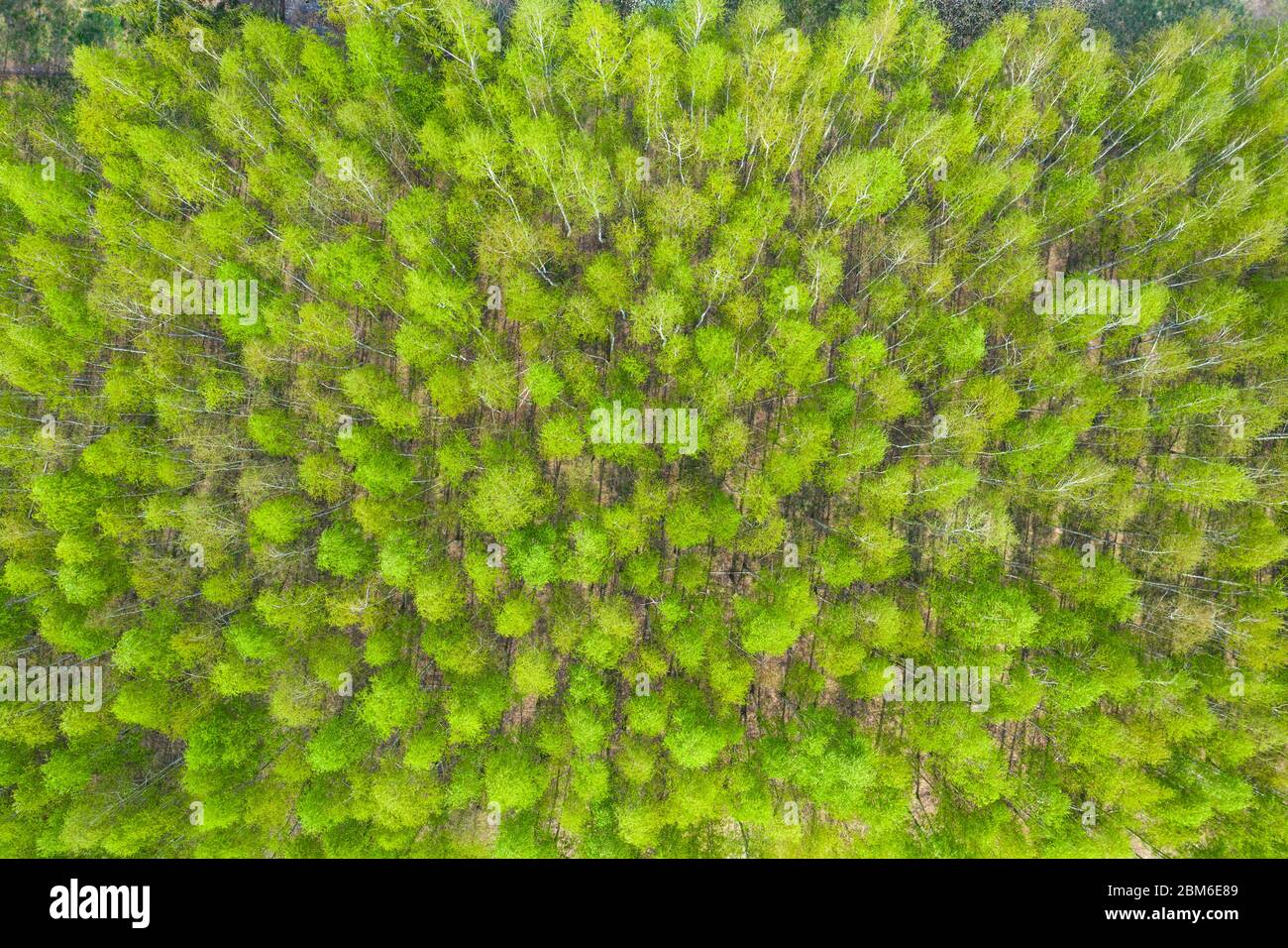 Aerial top view forest tree, Rainforest ecosystem and healthy environment concept and background, Texture of green tree forest view from above. Stock Photo