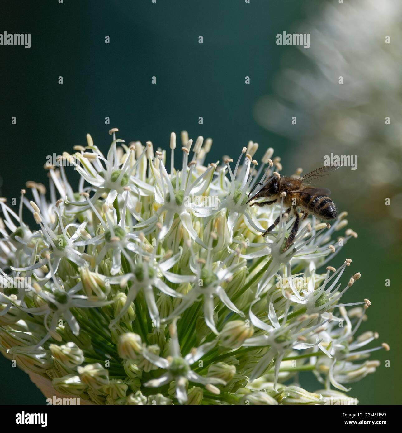 London, UK. 7 May 2020. Coronavirus lockdown day 45, garden watch. A Honey Bee collects nectar from large 'White Giant' Allium flowers in a sunny London garden. Credit: Malcolm Park/Alamy Live News Stock Photo