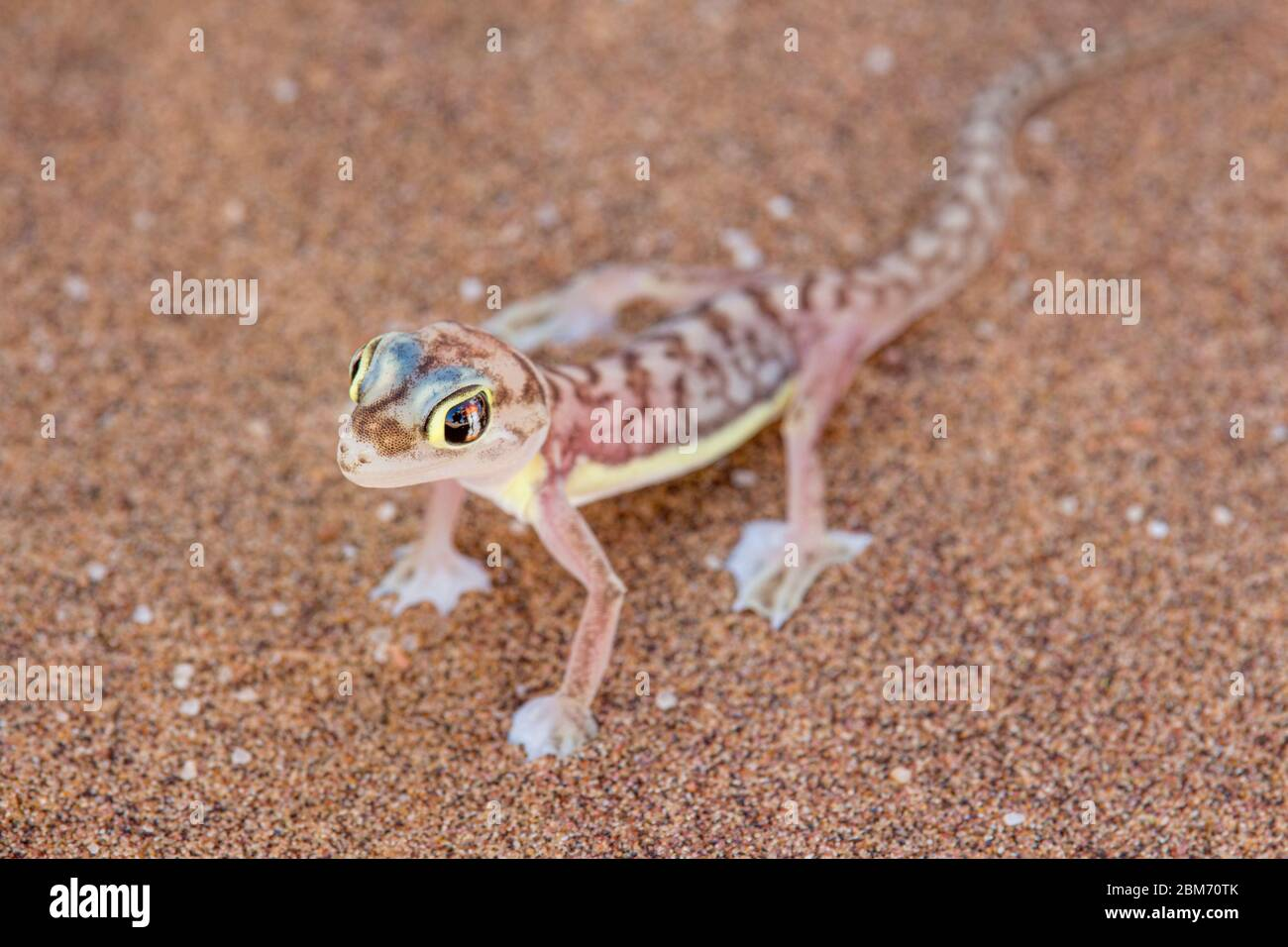 Web-footed Gecko (Palmatogecko rangei). Nocturnal animals that live mostly nestled in deep burrows Stock Photo
