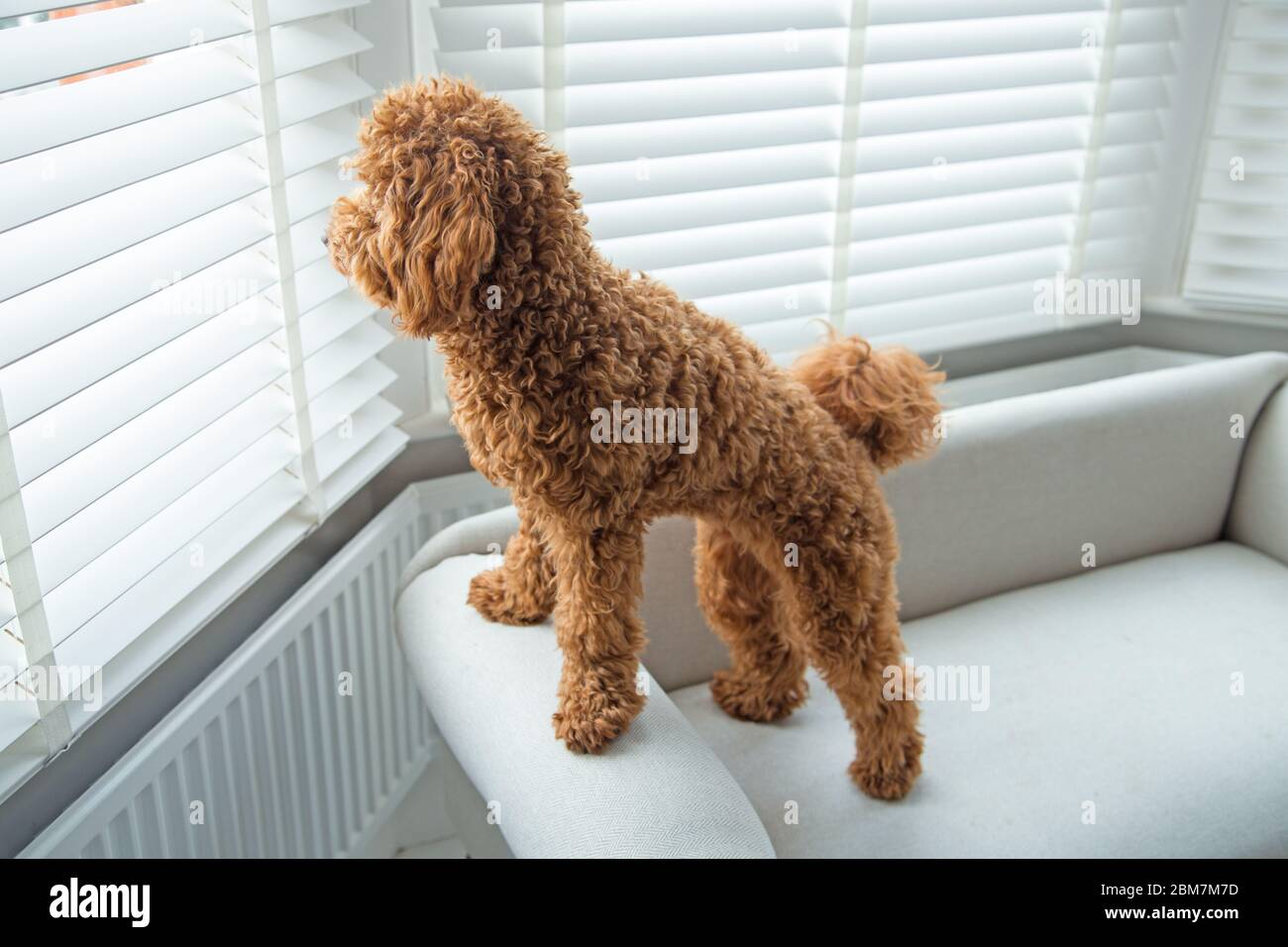A Cut And Adorable Miniature Poodle Puppy Looks Out Of A Bedroom Window In A Smart Domestic Home Interior Setting Stock Photo Alamy