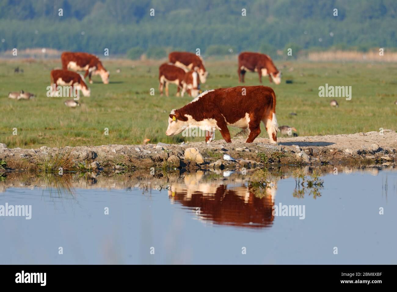 Cattle grazing at RSPB St Aidan's Nature Park in Swillington,Leeds Stock Photo