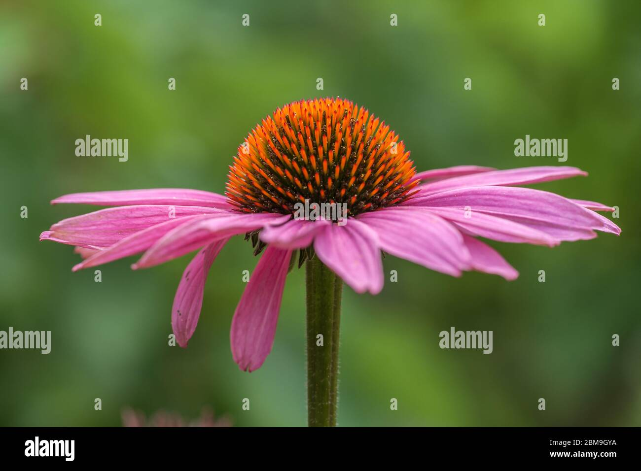 Blossom of a coneflower (echinacea) in pink Stock Photo