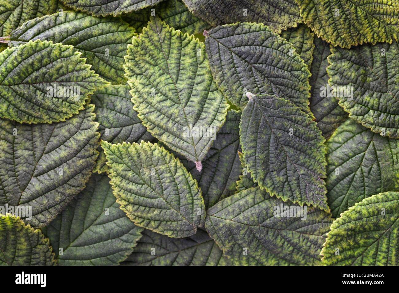 Dark green leaves background with texture, macro. Abstract floral backdrop with nature structure, closeup. Leaf ornament. Stock Photo