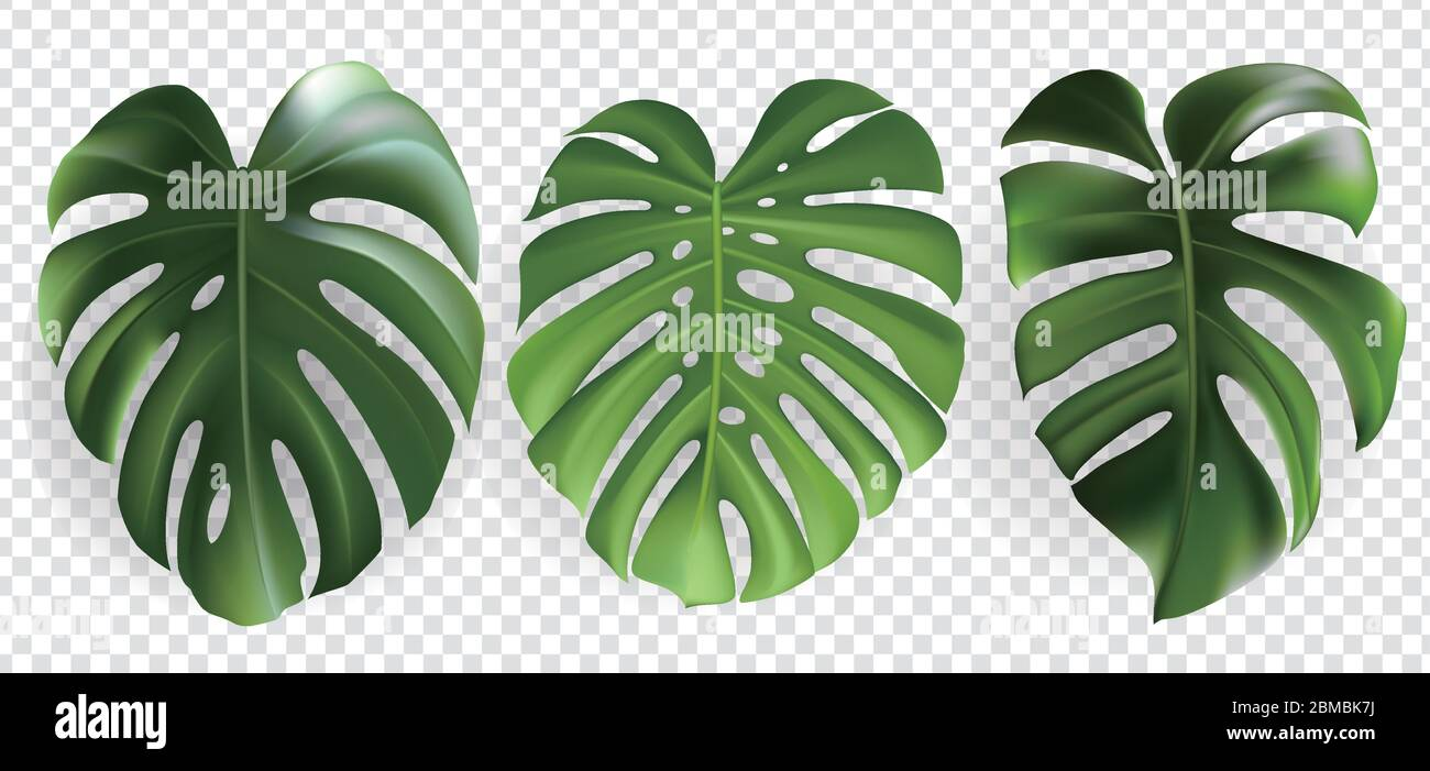 Green Tropical Leaves Set Isolated On Transparent Background Stock Vector Image Art Alamy This pack contains 40 hand drawn tropical leaf illustrations, as well as 20 leaf silhouettes, all supplied as vector files and pngs with transparent backgrounds. https www alamy com green tropical leaves set isolated on transparent background image356757062 html