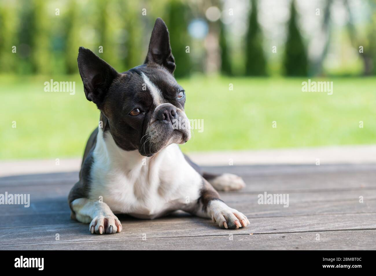 Boston terrier dog on brown terrace  - shallow depth of field Stock Photo