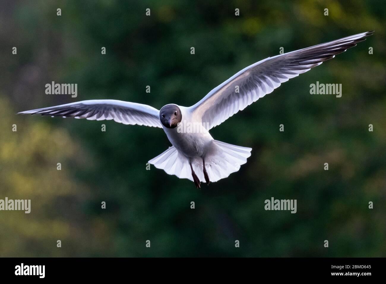 Black-headed gull (Chroicocephalus ridibundus) in summer plumage in flight, Cheshire, England, UK Stock Photo