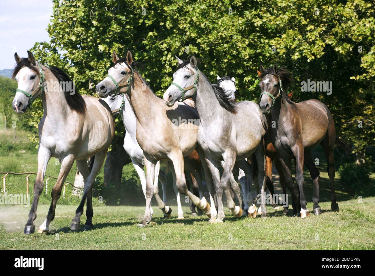 Domestic Arabian Horses Of Different Colors Running Home To The Stable Springtime Stock Photo Alamy