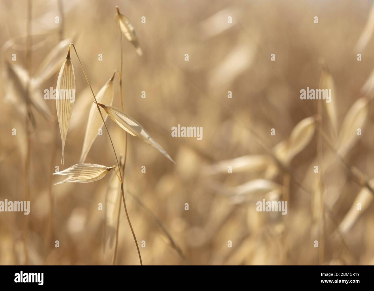 A field of dry oats on a sunny day. A close up photograph with a shallow depth of field and copy space. Stock Photo