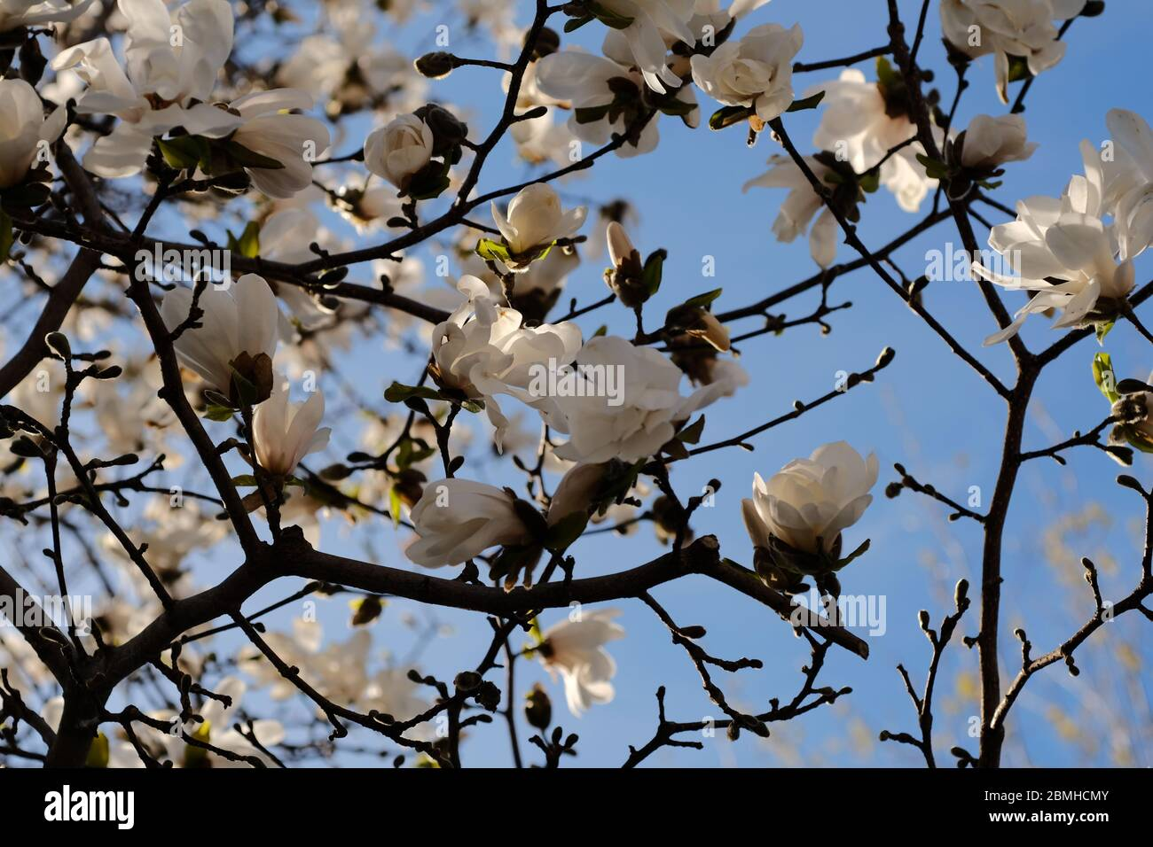 Late afternoon sun lights up the white flowers on a magnolia tree in a Glebe neighbourhood garden, Ottawa, Ontario, Canada. Stock Photo