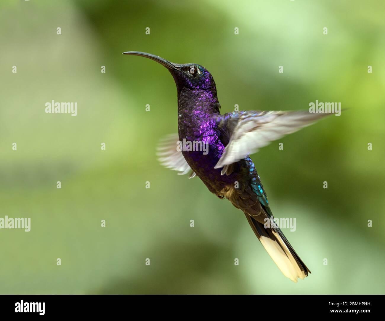 Closeup of Violet Sabrewing hummingbird in flight, Panama.Scientific name of this bird is Campylopterus hemileucurus.Range Mexico to Costa Rica,Panama Stock Photo